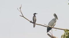 Egret bird standing on twig Stock Footage