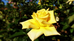 Beautiful color rose in a garden Stock Footage