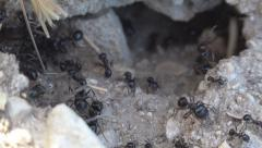 Macro Ants Working Gathering Food for Winter, Ant Hill, Workers Insects in Hive - stock footage