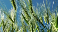 Barley in the wind gerste im wind Stock Footage