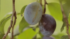 Plum, blue plum, blue fruit, camera in motion, shallow depth of field Stock Footage