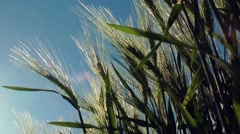 barley in the wind gerste im wind - stock footage
