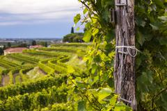 Grapevine field in the italian countryside Stock Photos