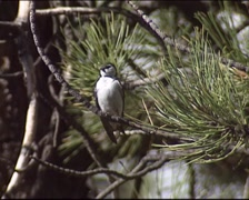 White-throated Swift (Aeronautes saxatalis) perched in a pine tree Stock Footage