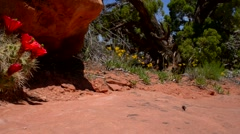 red cactus blossom canyonlands utah - stock footage