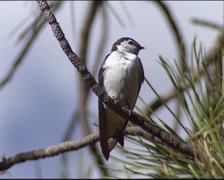 White-throated Swift (Aeronautes saxatalis) perched in a pine tree - close up Stock Footage