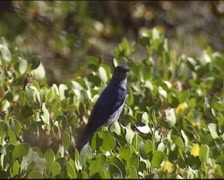 Mountain bluebird (Sialia currucoides) perched on a bush and flies away Stock Footage