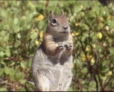 Golden-mantled ground squirrel standing upright, eating seeds Stock Footage