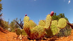 Prickly Pear Cactus In Arizona Desert- Slow Zoom Stock Footage