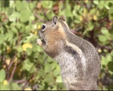 Golden-mantled ground squirrel standing upright, eating seeds - side view Stock Footage