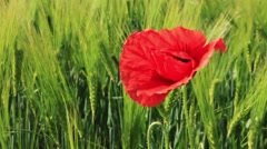 Poppy in a barley field mohn im gerstenfeld Stock Footage
