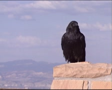 Common Raven (corvus corax) perched on a stone wall - stock footage