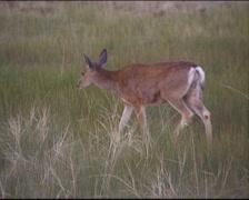 Mule deer (Odocoileus hemionus) runs across grassland, sunset. Bryce Canyon Stock Footage