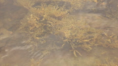 Big bush of fucus(brown algae) under water(view from the surface) Stock Footage