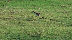 Killdeer birds Stock Footage