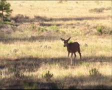 Mule deer (Odocoileus hemionus) foraging on forest edge. Bryce Canyon Stock Footage