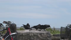 Birds eating atop a stone wall inbetween bicycles Stock Footage