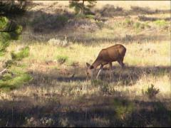 Mule deer (Odocoileus hemionus) foraging on forest edge + zoom in Stock Footage