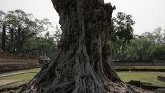 Tall Gnarled Peepal Tree at the Ruins of Sukhothai Stock Footage