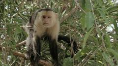 Wild White Faced monkey. Stock Footage