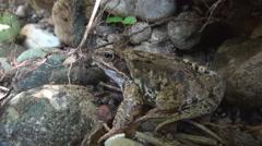 Lähikuva kaunis sammakko luonnollisessa ympäristössä. Villieläin. Wildlife. Arkistovideo