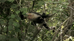 Wild, non-captive White Faced monkey. - stock footage