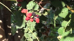 Red and black blackberry zoom out Stock Footage