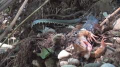 Käärme syö sammakko. Käärme yrittää niellä kuollut sammakko. Wildlife. Luonnonvaraiset eläimet Arkistovideo