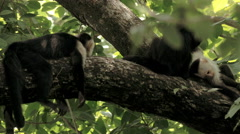 Wild Costa Rica White Faced Monkeys Stock Footage