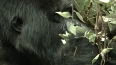 Hungry Gorilla Stock Footage