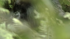 Wild mountain gorilla having a meal Stock Footage