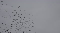 ULTRA HD 4K Beautiful birds flock motion cloudy sky black raven crow search food Stock Footage