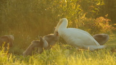 White mute swan with its young in the morning in nature, cleaning feathers Stock Footage