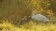 White mute swan with its young in nature, dew drops, cleaning feathers Stock Footage