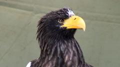 Steller sea eagle head Stock Footage