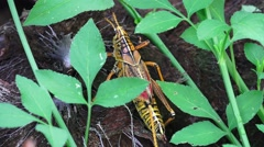 Romalea Guttata - Eastern Lubber Grasshopper Walks Thru Brush 02 4K Stock Footage
