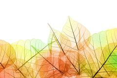 border of autumn color transparent leaves - isolated on white - stock photo