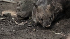 A wombat scrounges in the dust Stock Footage
