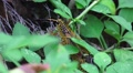 Romalea Guttata - Eastern Lubber Grasshopper Walks Thru Brush 01 HD Footage