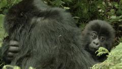 Wild Gorilla Baby Stock Footage