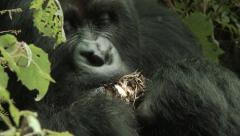 Close up of wild Silverback eating (mountain gorilla) - stock footage