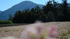 Red buckwheat field, forest in the back - stock footage