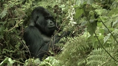 Wild Mountain Gorilla sitting and eating - full size Stock Footage