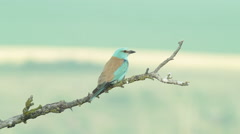 European roller perched on a branch near the nest. Stock Footage