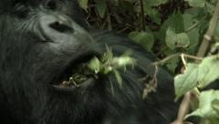 Wild Mountain Gorilla Stock Footage