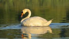White mute swan searching for food in the lake in nature, morning, static Stock Footage