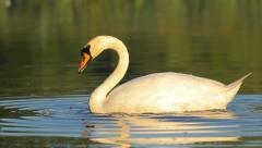 White mute swan looking for food in the water in the morning, close-up, static Stock Footage