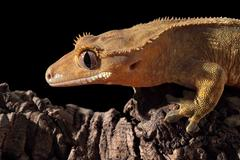 side view of a new caledonian crested gecko (rhacodactylus ciliatus) on a bra - stock photo