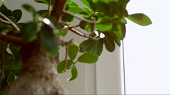 A little bonsai tree zoom-in zoom-out Stock Footage