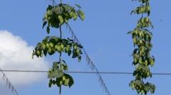 4K Closeup ripe Hops plant Stock Footage